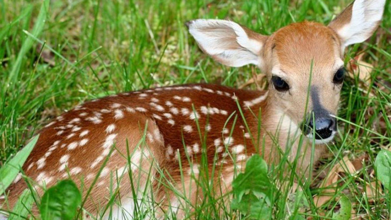 Scdnr Sends Reminder That Adopting A Lost Baby Deer Is Illegal The Berkeley Observer