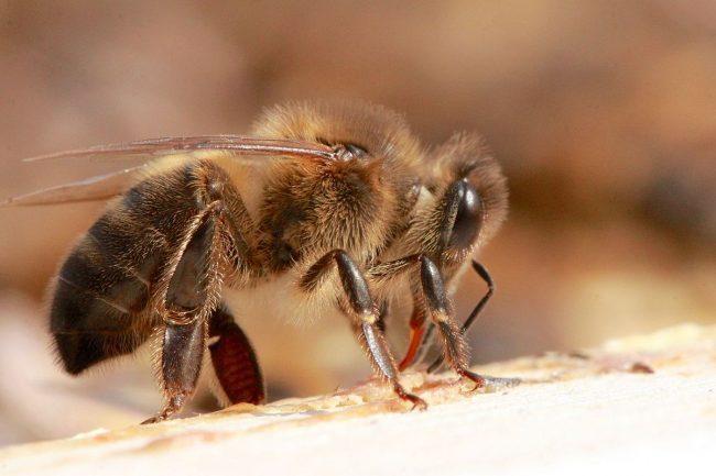 Pictured: Honey Bee (Via Wikimedia Commons)